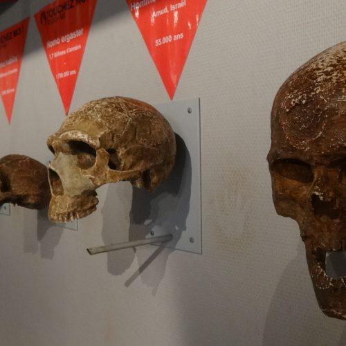 Bornes tactiles de crânes d'hominidés