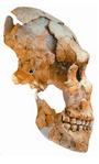Squelette de l'individu néandertalien découvert à Saint-Césaire